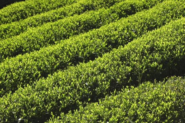 緑茶とほうじ茶の違い!製法から成分まで徹底解説!