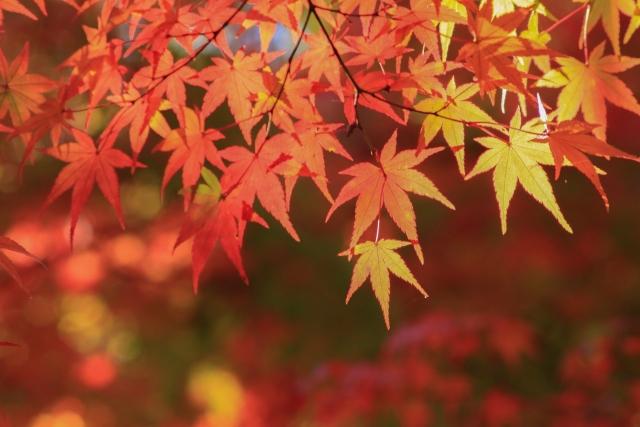 紅葉と楓の違い!基準は色々あるけどどれが本当なの?